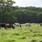 知っていた? 乳牛牧場は雌牛だけの「女の園」【乳牛牧場】