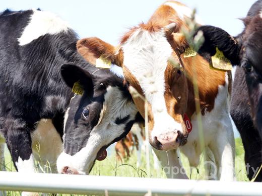 いま年間の国内生乳生産量は、一人1日あたりコップ1杯