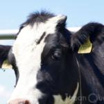 角を切る儀式は、子牛も酪農家もつらいのです【除角】(じょかく)