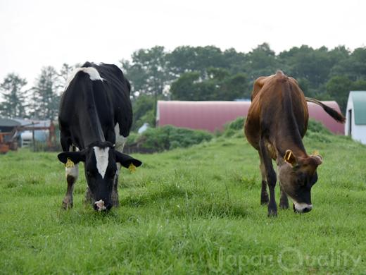 日本の99%はホルスタイン種だけど、少数派もいるよ【乳用牛の種類】