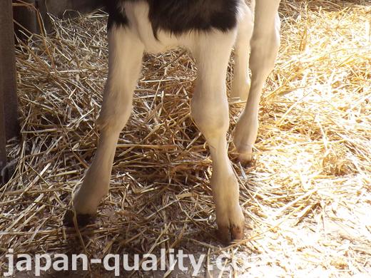 牛さんの足には二股の蹄(ひづめ)がある【牛の足】