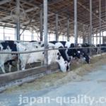 牛さんが柵に固定されない共同生活スタイル。でもベッドは個別式【フリーストール牛舎】