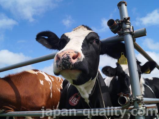 1年周期で妊娠と出産と搾乳をくりかえす【乳牛のライフサイクル】
