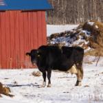 【知らなかった】冬は牛さんも風邪を引きやすい。予防のために酪農家はどんな工夫を?