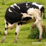 【知ってる?】意外にも牛さんは体が柔らかい。器用にグルーミングもする
