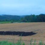 【知ってる?】小麦を収穫したあとの麦わらは、牛さんのベッドになる