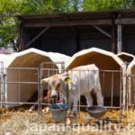 乳牛の仔牛は個別のおうちですくすく【カーフハッチ】