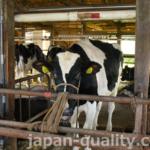 出産を経験しているお母さん牛の肩書は【経産牛(けいさんぎゅう)】