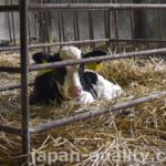 牛の【初(しょにゅう)】とは分娩後5日以内に出す乳のこと。免疫物質や栄養をたっぷり含んでいる
